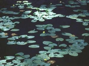 Liliy pond