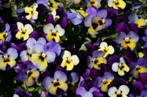 Violets, Lisa Kamen, What Is Your Happiness